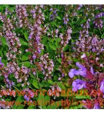 Šalvia lekárska-(Salvia officinalis L.)