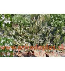 Saturejka horská–(Satureja montana L.)