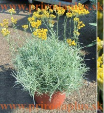 Slamiha talianska, úzkolistá (Curry, kari) - (Helichrysum italicum L.)