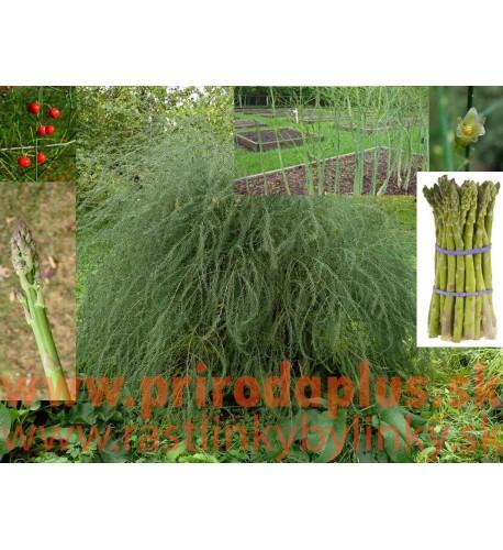 Asparagus lekársky, Špargľa-(Asparagus officinalis L.)