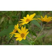 Topinambur, Slnečnica hľuznatá - (Helianthus tuberosus L.) / rastlinky, bylinkyv kvetináči