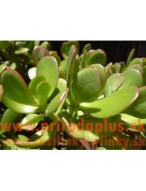 Tučnolist vajcovitý-(Crassula ovata L.)