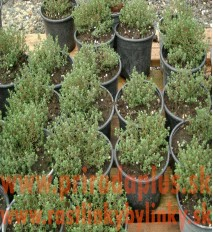 Tymián obyčajný-(Thymus vulgaris L.)