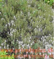"Tymián provensálsky-(Thymus vulgaris L.) ""Provencale"""
