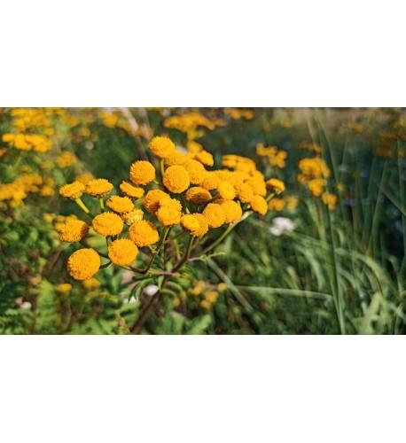 Vratič obyčajný – (Tanacetum vulgare L.), živá rastlinka v kvetináči