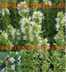 "Yzop lekársky, biely-(Hyssopus officinalis L.)""ALBUS"""