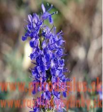 Yzop lekársky, fialový-(Hyssopus officinalis L.)