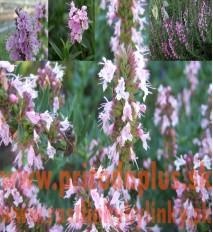 "Yzop lekársky, ružový-(Hyssopus officinalis L.)""ROSEUS"""