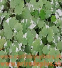 """Zádušník strakatý, brečtanovitý """"panašovaný""""-(Glechoma hederacea """"variegata"""" L.)"""