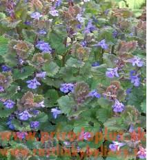 Zádušník brečtanovitý-(Glechoma hederacea L.)